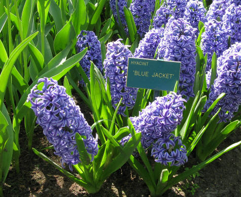Bulb Flowers at Keukenhof Gardens